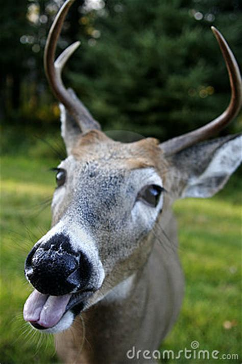 Funny Deer Face Royalty Free Stock Photo - Image: 606745