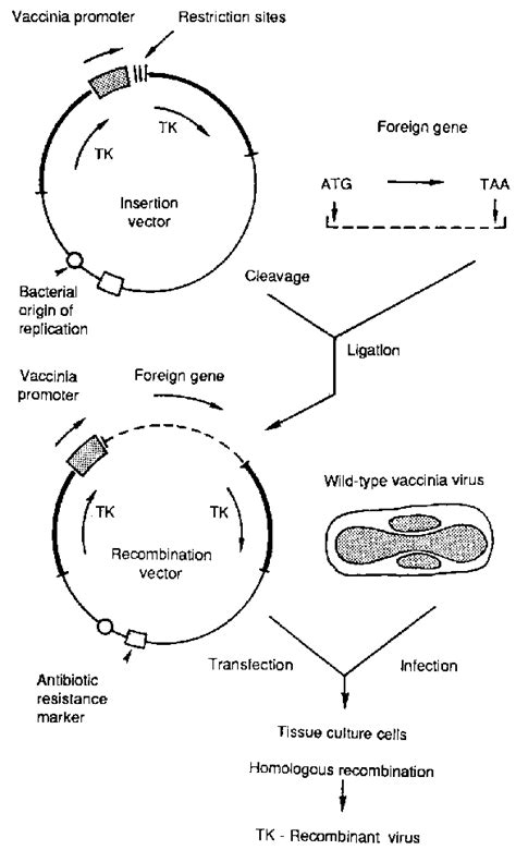A vaccinia virus recombinant vaccine for rinderpest