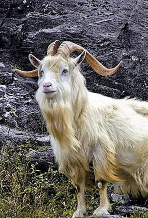 Won't somebody think of the goats? - Independent