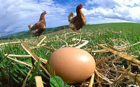 Large eggs cause pain and stress to hens, shoppers are